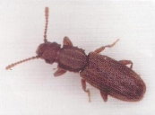Saw Tooth Grain Beetle