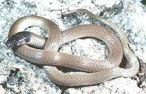 Rim Rock Crowned Snake