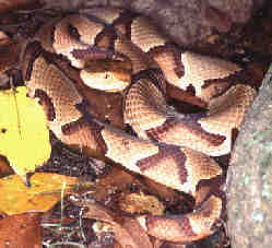 Southern Copperhead Moccasin