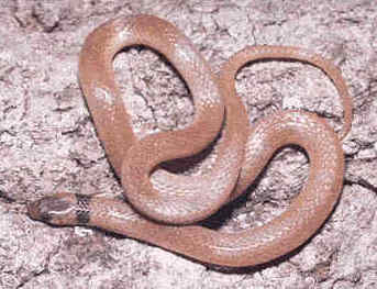 Southern Crowned Snake