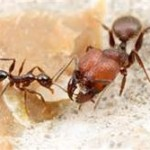 DON'T LET BIG HEAD ANT MOVE INTO YOUR HOME