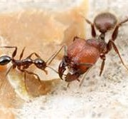 BIG HEAD ANTS HAVE BIG ATTITUDES