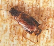 roach-brown-banded