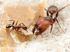 ANTS WITH BIG HEADS ARE NOT SMARTER