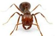PROTECT YOUR LAWN FROM FIRE ANTS