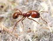 RID FIRE ANTS FROM YOUR LAWN