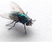 LEARN ABOUT NASTY HOUSE FLIES