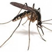 KNOW THE FACTS ABOUT MOSQUITOES