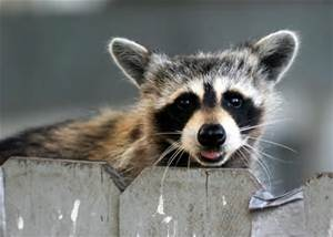 RACCOONS ARE NOT A HOUSE GUEST