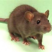 RATS ARE RUNNING WILD IN SOUTHWEST FLORIDA