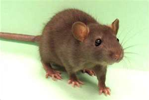 RATS ARE ON THE MOVE TO YOUR HOME