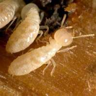 TERMITES CAN BE CONTROLED WITH EXTERRA BAITING