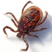 TICKS IN YOUR HOME CAN BE A NIGHTMARE
